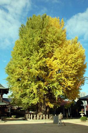 銀杏の木2.jpg