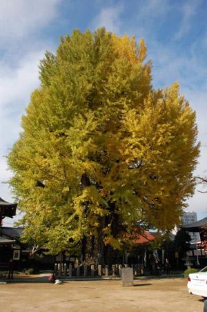 銀杏の木1.jpg