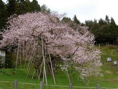 臥龍桜.jpg