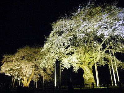 荘川桜ライトアップ.JPG