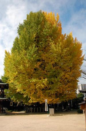 国分寺・銀杏の木.jpg