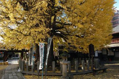 国分寺の銀杏の木.jpg